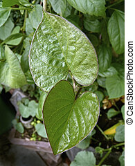 Sweet potato leaves, Ipomoea batatas