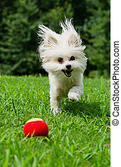 Maltipoo dog playing with ball
