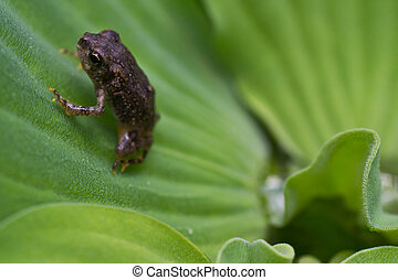 Teeny Tiny Toadlet - An American Toadlet just coming out of...