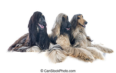 afghan hounds - three afghan hounds in front of white...