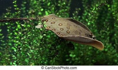 freshwater stingray swims in the aquarium