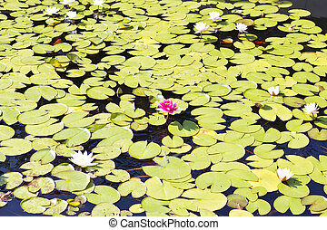 Water-lily - Water-lilies in a pond in the bright sunny day