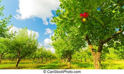 apple orchard with ripe apples