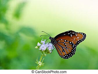 Queen butterfly (danaus gilippus) feeding on Gregg's Mist...