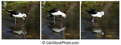 Common Stilt, Himantopus himantopus - Details of a wading...