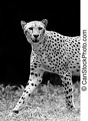 Wild Cheetah - Portrait of a Wild Cheetah in black and white