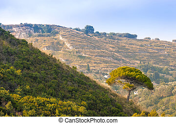 Tree on green hill in rural southern Italy