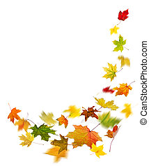 Autumn colored leaves falling - Maple colored autumn falling...