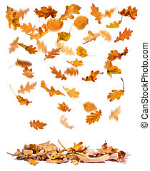 Autumn oak leaves falling - Oak autumn leaves falling to the...