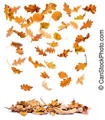 Autumn oak leaves falling - Oak autumn leaves falling to the...