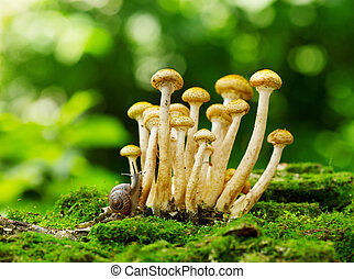mushrooms honey agaric in a forest