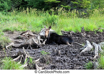 Moose lying down in cool mud of bog - Female moose,called a...
