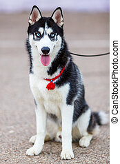 purebred Siberian Husky black and white color