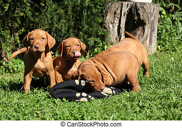 Puppies of Hungarian Short-haired Pointing Dog (Vizsla)...