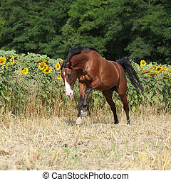 Beautiful horse running in front of sunflowers on some field