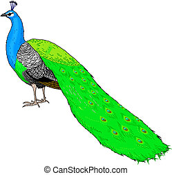 Colorful peacock in vector