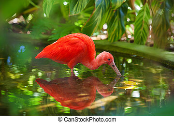 Hungry Scarlet Ibis - Hungry Carribean Scarlet Ibis...