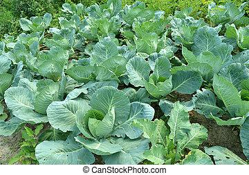 cabbage in a kitchen garden