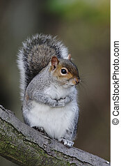 Grey squirrel, Sciurus carolinensis, on a branch in...