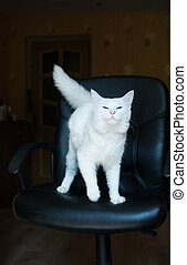 White cat with blue eyes and bushy tail, eyes narrowed and...