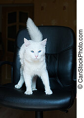 White cat with blue eyes and bushy tail