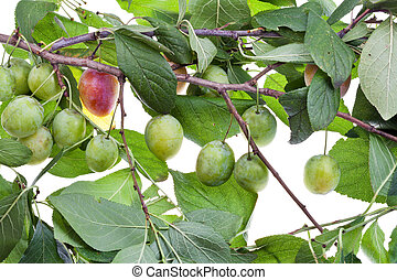 branch of plum tree with green leaves and unripe plums