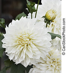 White Dahlia Flowers,Close Up Shot