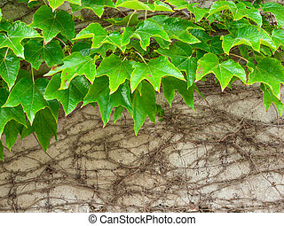 ivy against old wall