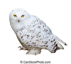 snowy Owl, isolated over white b - snowy Owl (Nyctea...