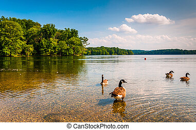 Geese in the water at Loch Raven Reservoir, near Towson,...