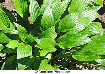 Hosta Guacomole - Green hosta Guacomole plant in garden at...