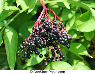 Some ripe elderberry on branch against the leaves