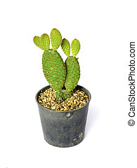 Bunny ears cactus in a pot. on white background