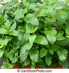 Herbs in your backyard - Square closeup shot of lemon balm...