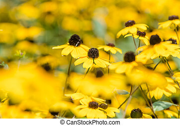 Yellow Flowers Close Up - Yellow Flowers Rudbeckia Hirta Or...
