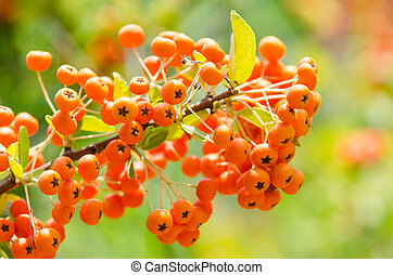 Poisonous Berries Fruits Close Up