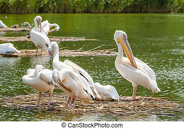 Pelicans In The Danube Delta - Pelican Colony In The Danube...