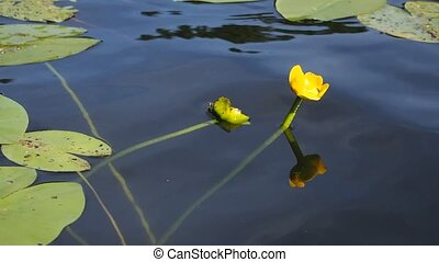water lily - yellow water lily flower in clean lake waters