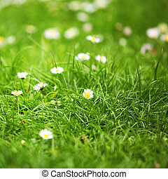 camomiles in green grass close up