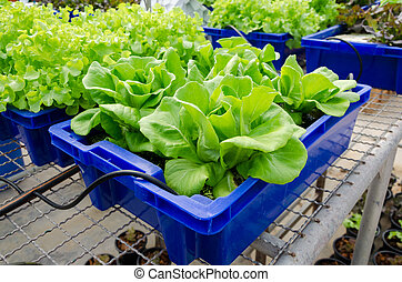 HYDROPONIC vegetables grown in blue plastic containers.