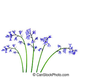 Bluebell Flower Beauties - Five bluebell flowers over white...