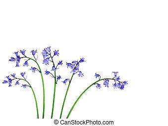 blåklocka, blomma, Skönheter