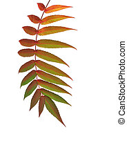 Rowan Leaf in Autumn - Rowan leaf in Autumn over white...