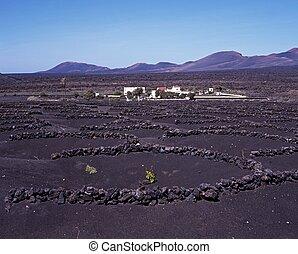 Grapevine in volcanic soil.