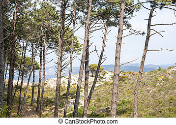Pine trees in Cies islands natural park, Galicia