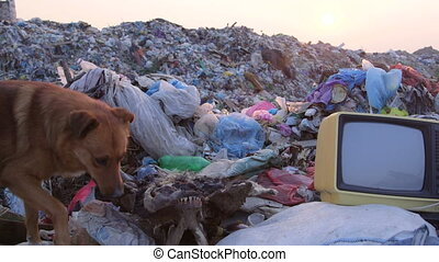 Homeless dog looking for food in landfill