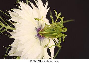 White Nigella flower