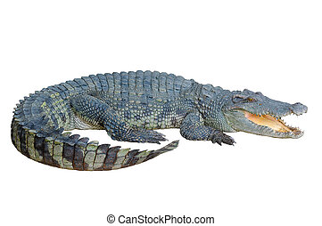 Crocodilo, olhar, algo