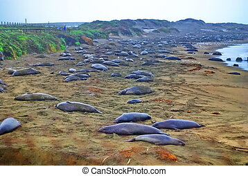Elephant Seals Pacific Coast CA - Hunted nearly to...