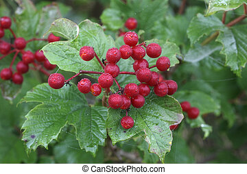 Guelder rose, Viburnum opulus, berries, Midlands, UK